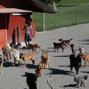Hunde sind Rudeltiere. Die Interaktion mit Artgenossen, ob nun im Spiel oder in der Ausbildung von Hierarchien kommt im Leben eines Haushunds oft zu kurz. Bei uns gibt es dafür viel Gelegenheit. Täglich vier bis fünf Stunden unter freiem Himmel und unter fachkundiger Führung und Aufsicht unserer TierpflegerInnen.  Beim ersten Aufenthalt sind deswegen 2-3 Probetage unerlässlich, um zu herauszufinden, ob sich Ihr Hund bei uns wohlfühlt.