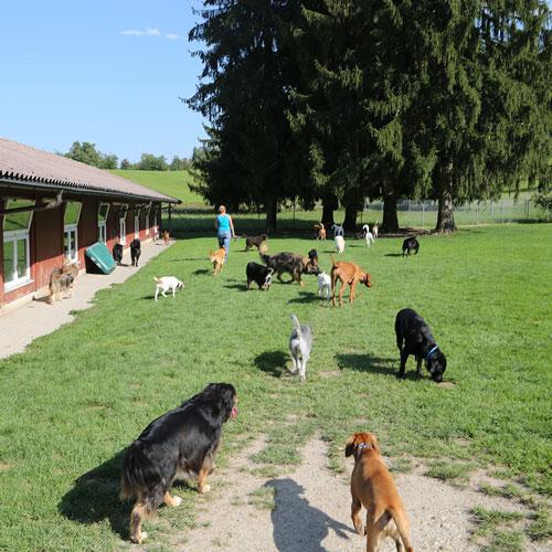 In unserem Hof und auf der grosszügigen Spielwiese kann sich Ihr Hund so richtig austoben. Es gibt Platz genug, dass sich Ihr Hund ganz nach Laune im Rudel vergnügen oder alleine erholen kann. Dabei sind unsere Gäste immer unter der Aufsicht unserer TierpflegerInnen, bei denen sie sich jederzeit Streicheleinheiten abholen können.