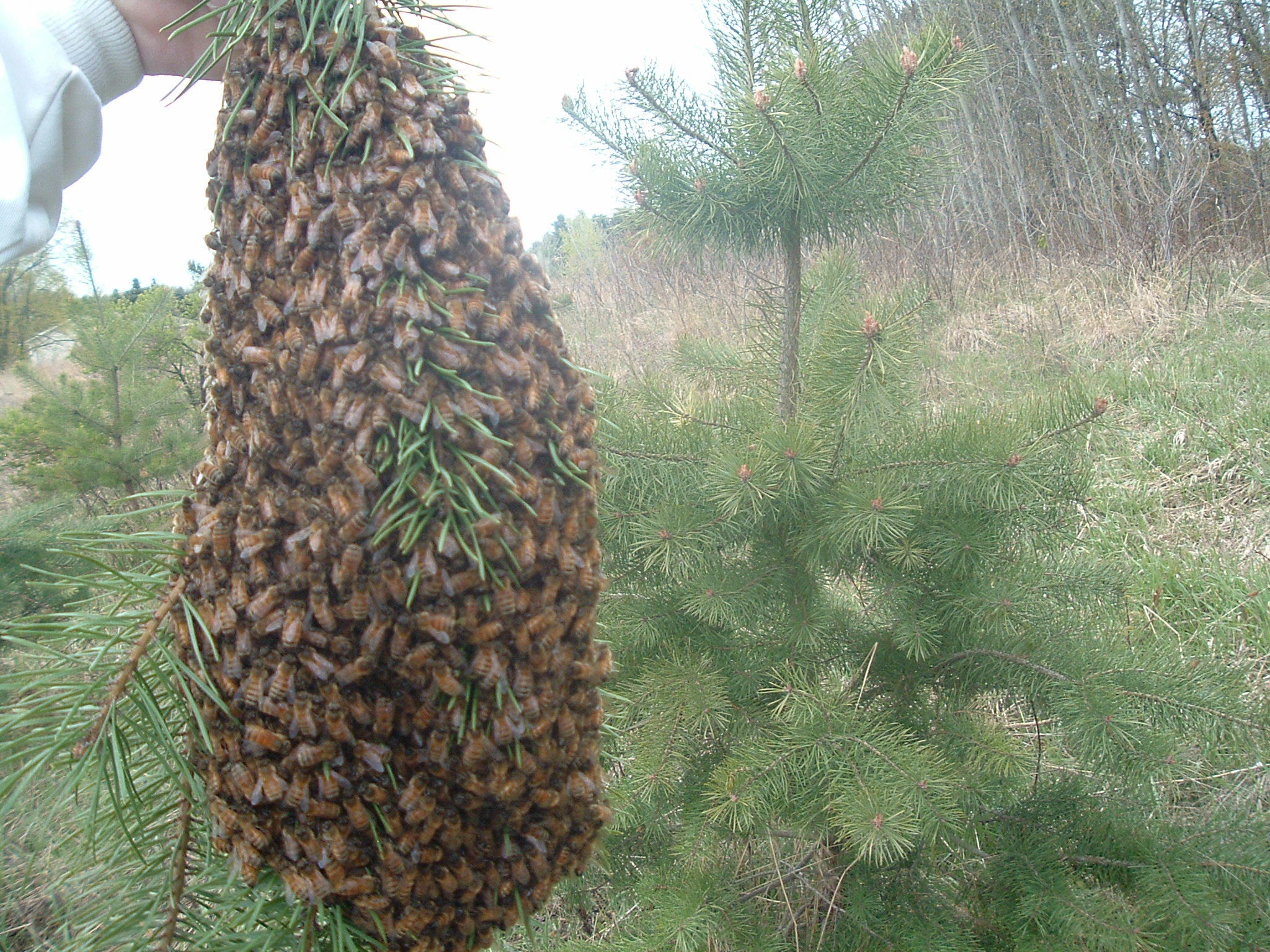 Healthy swarm of honeybees looking for a new home. You can give them one!