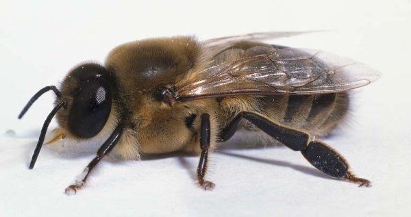 Honeybee drone (male)