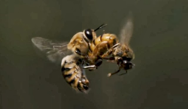 Drone and young queen bee mating in flight.