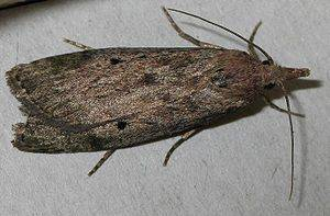 wax moth.jpg