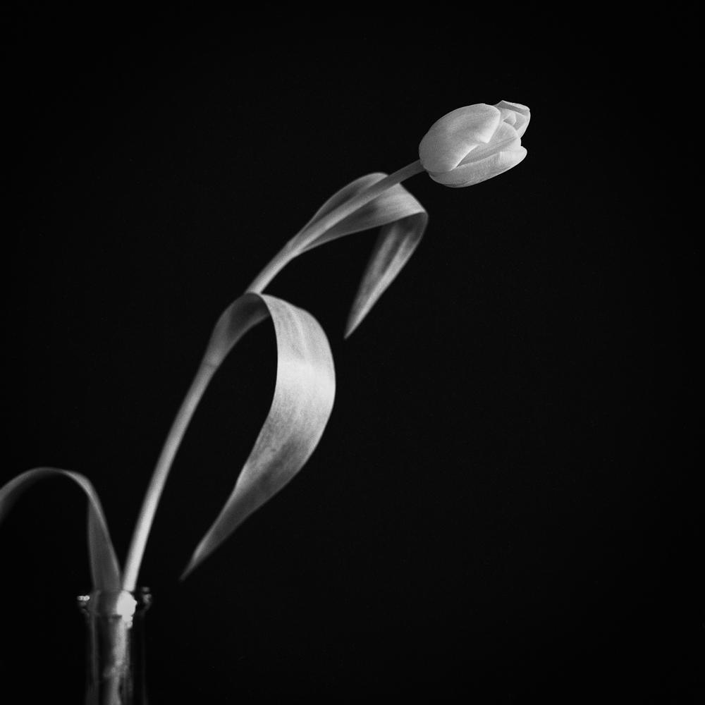 Tulips_004.jpg