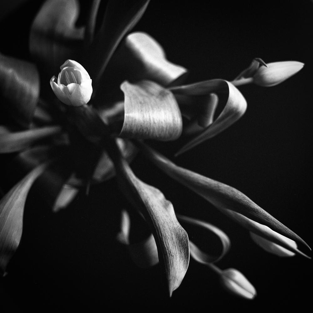 Tulips_007.jpg