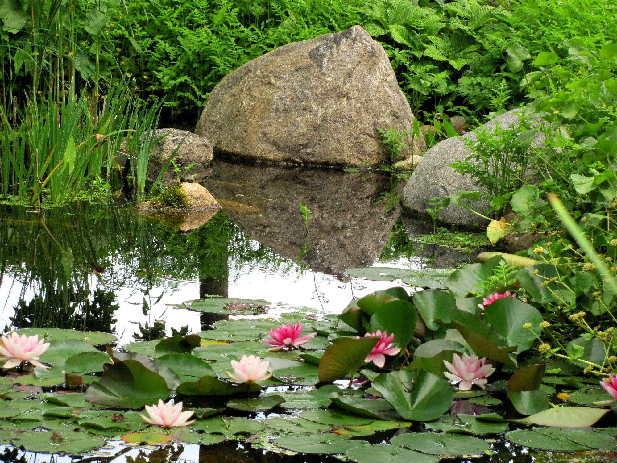 Boothbay lotus pond.JPG