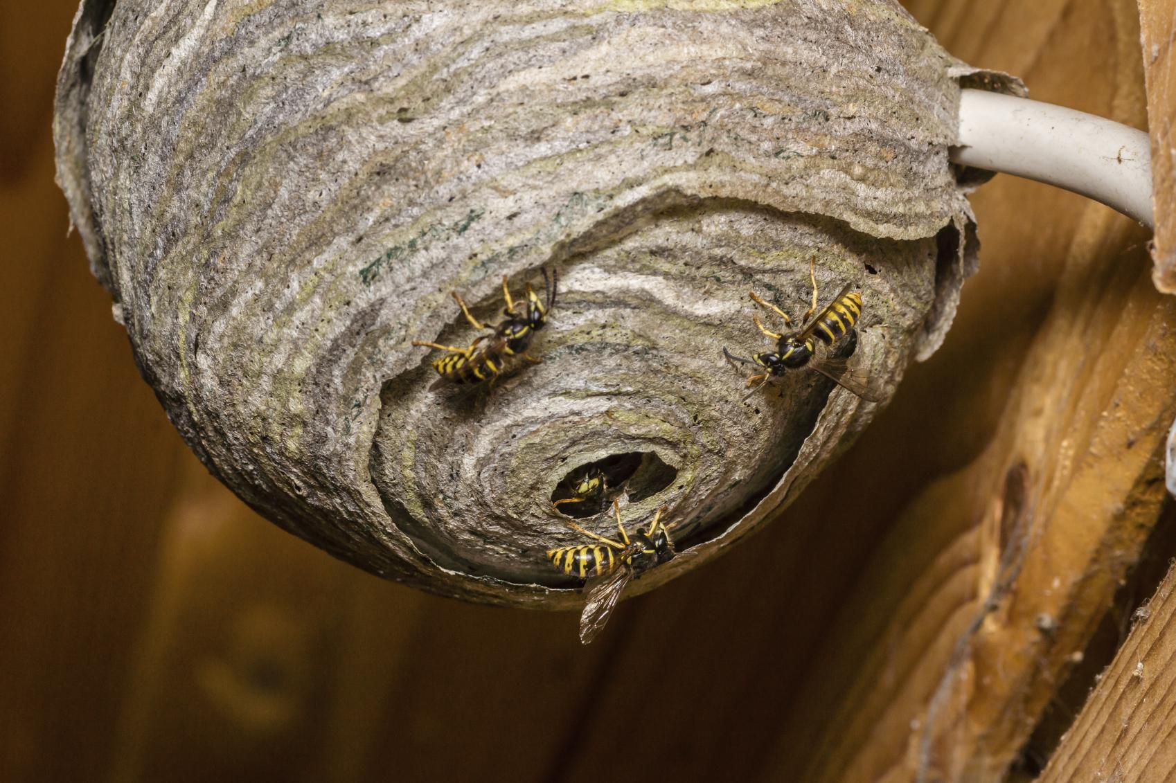 Wespen op wespennest