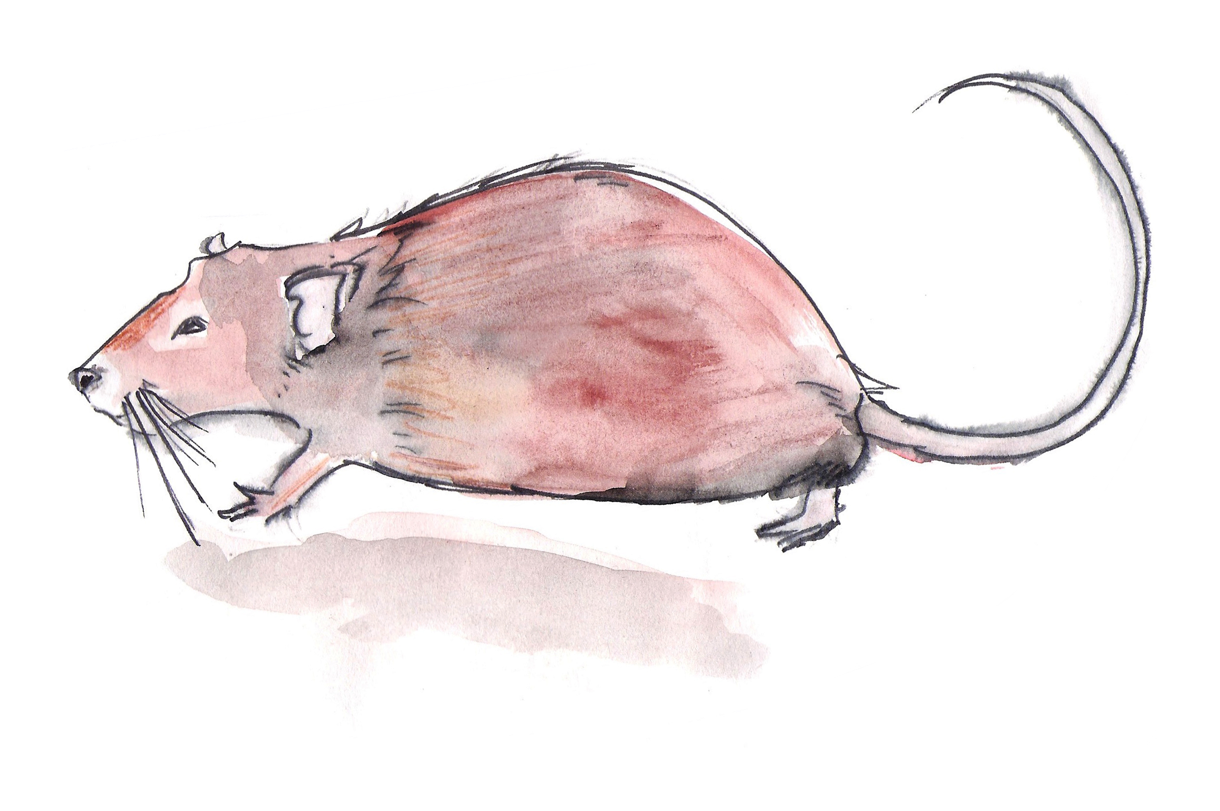 bruine-rat.jpg