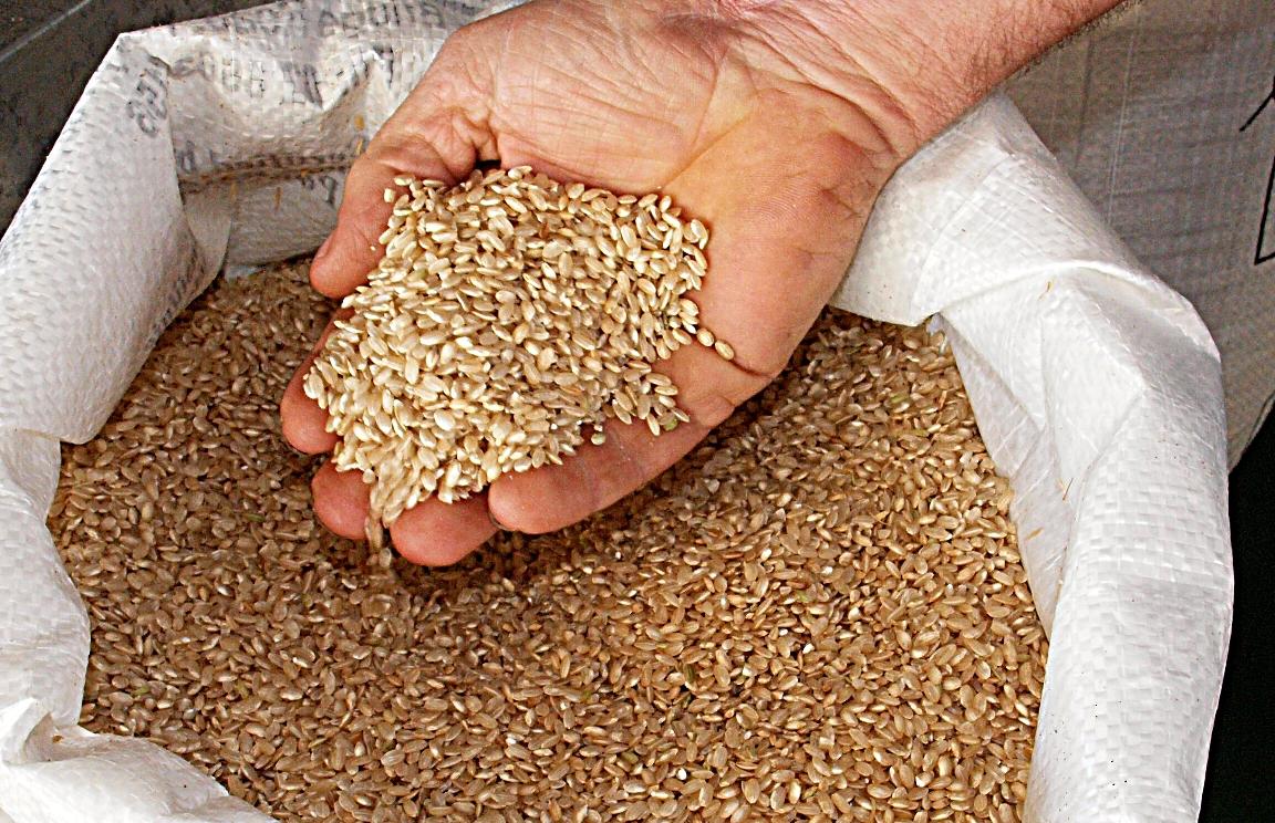 Rainfed Rice 03.jpg