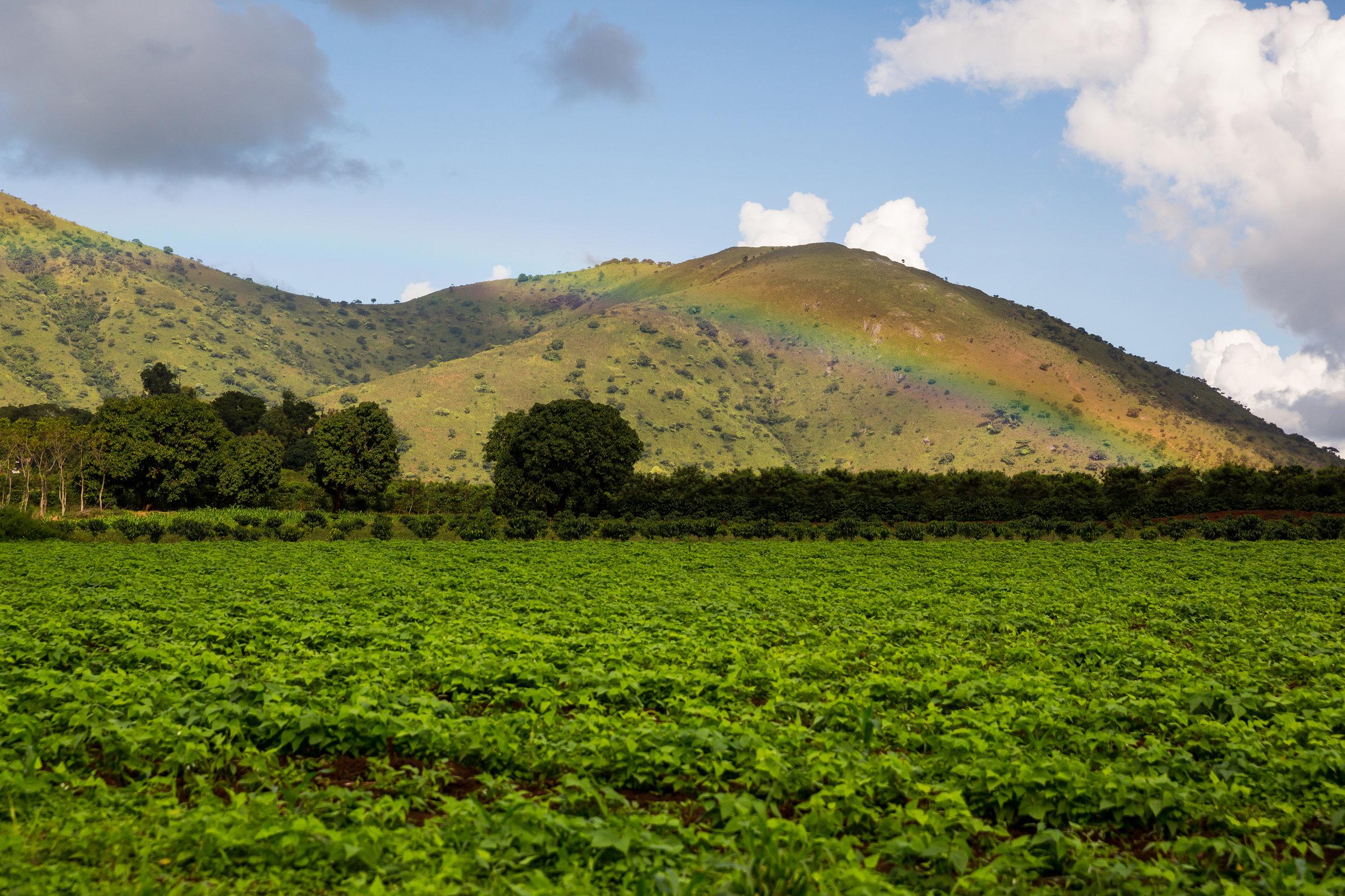 Coffee growing in Cameroon