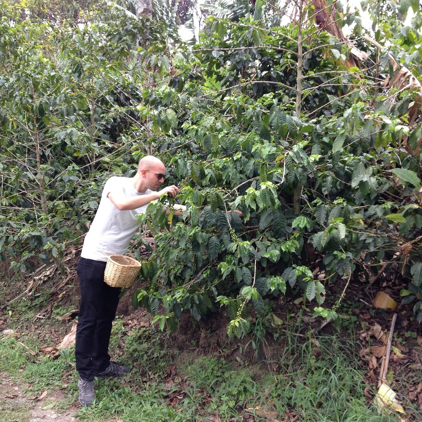Picking coffee in Colombia