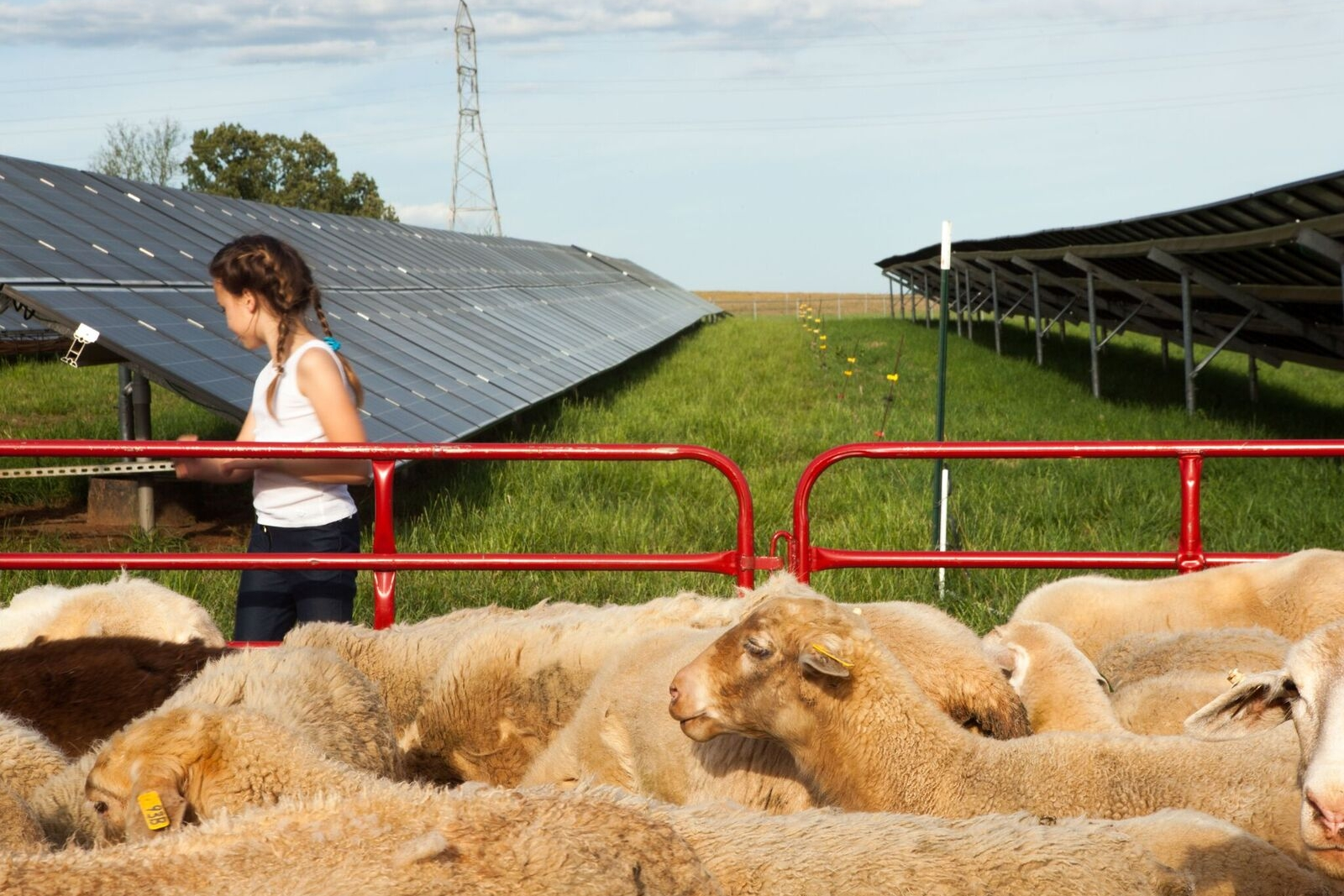 Caroline sheep fence.jpg