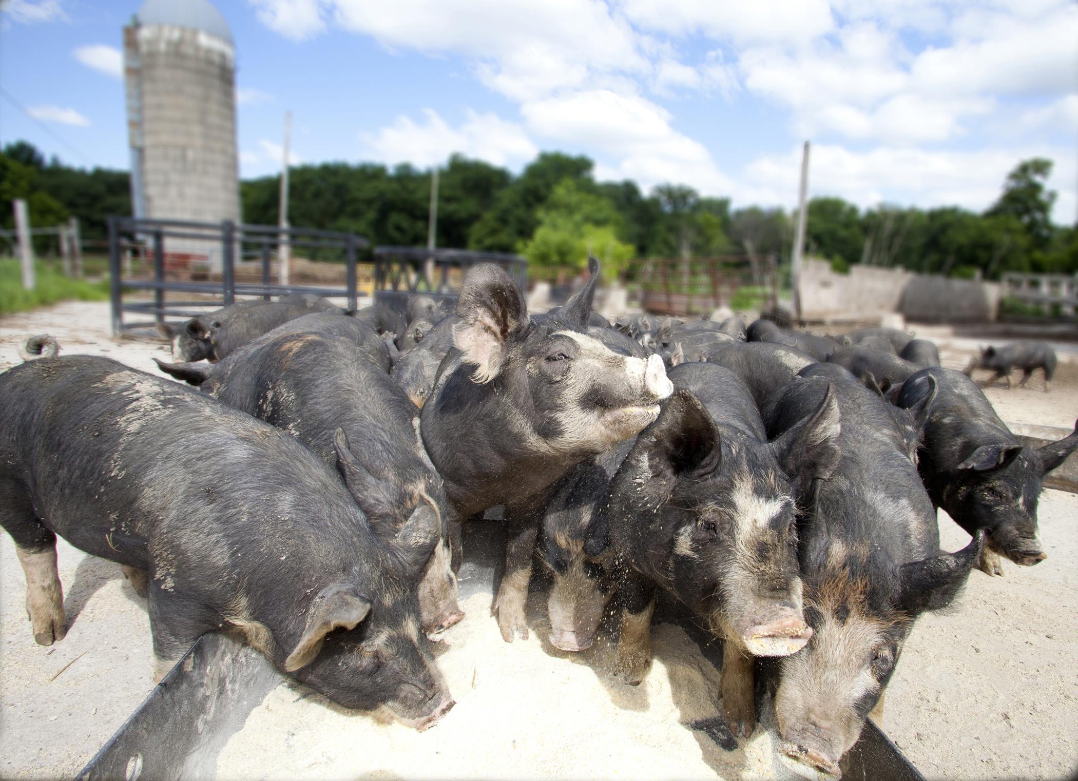 Farm photography pigs eating minnesota