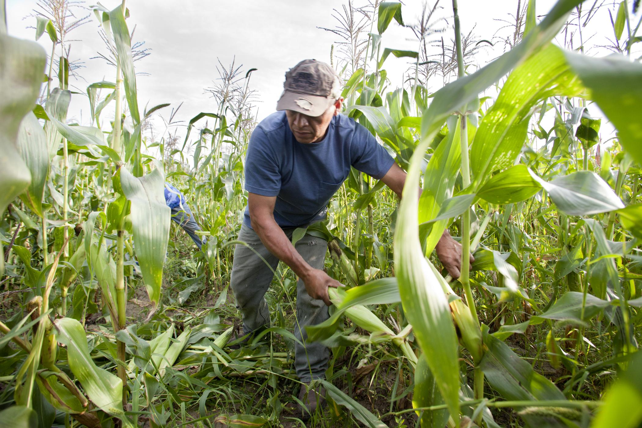 farm photography organic corn harvest minnesota