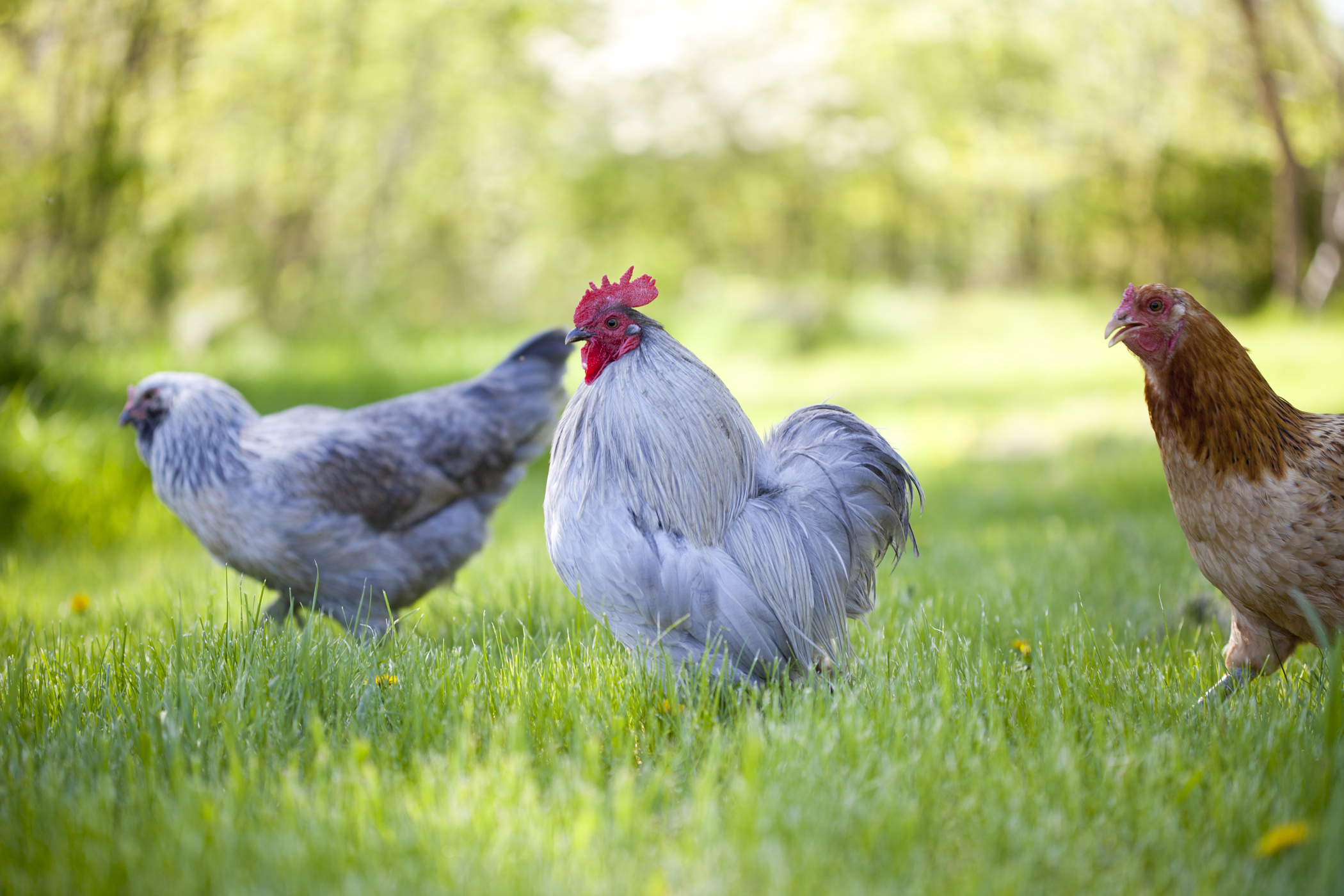 animal photography chickens rooster free range