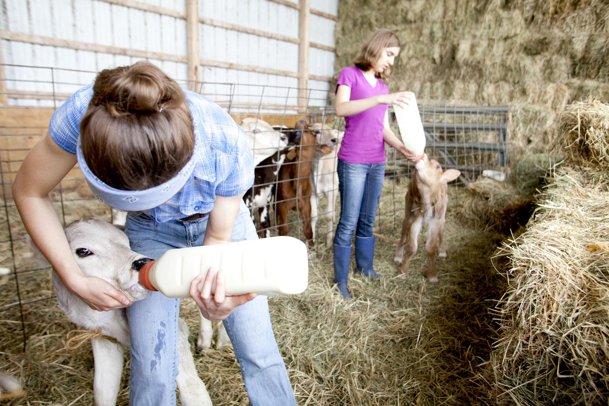 farm photography organic dairy milking cows