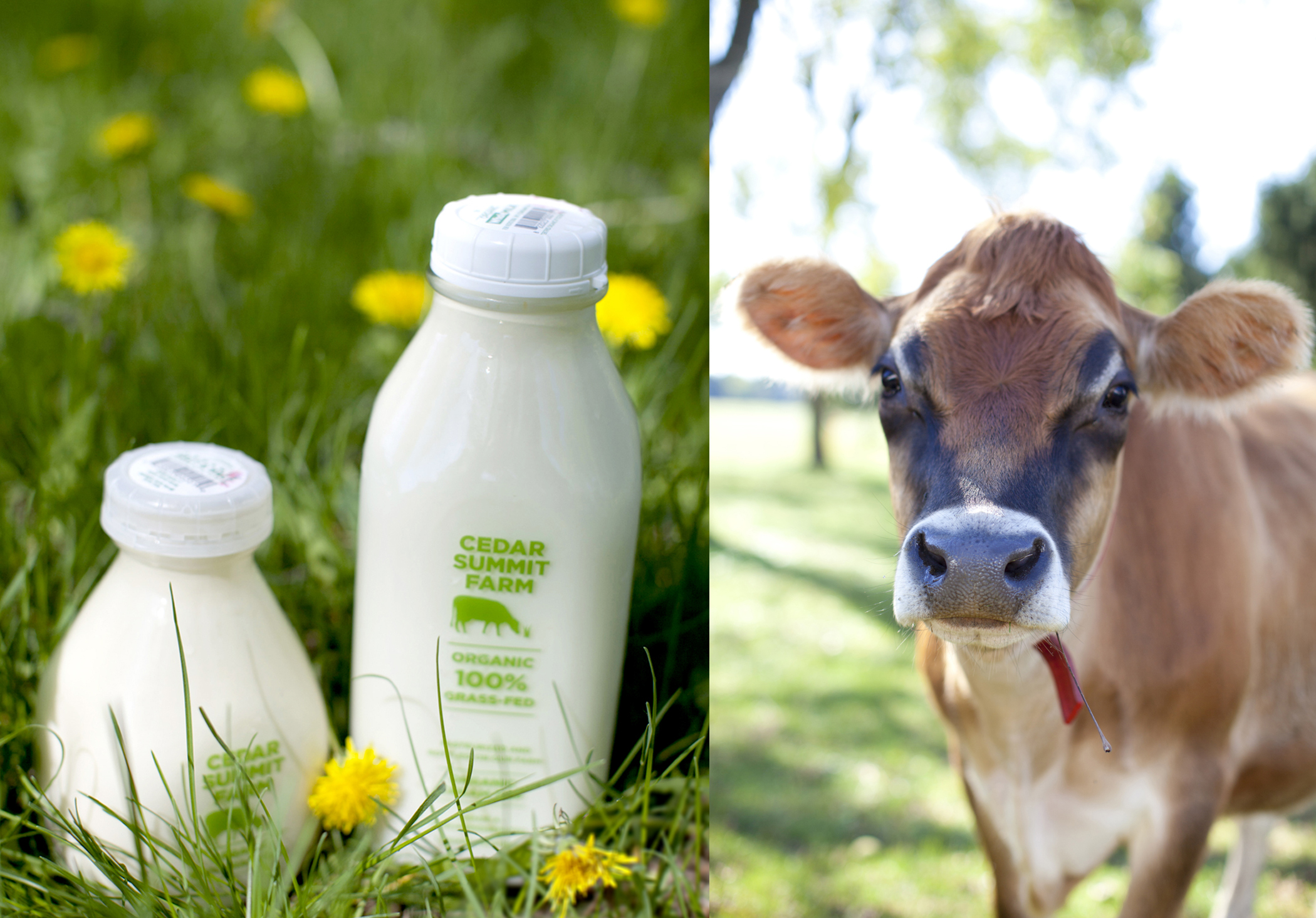 farm photography organic cow and milk