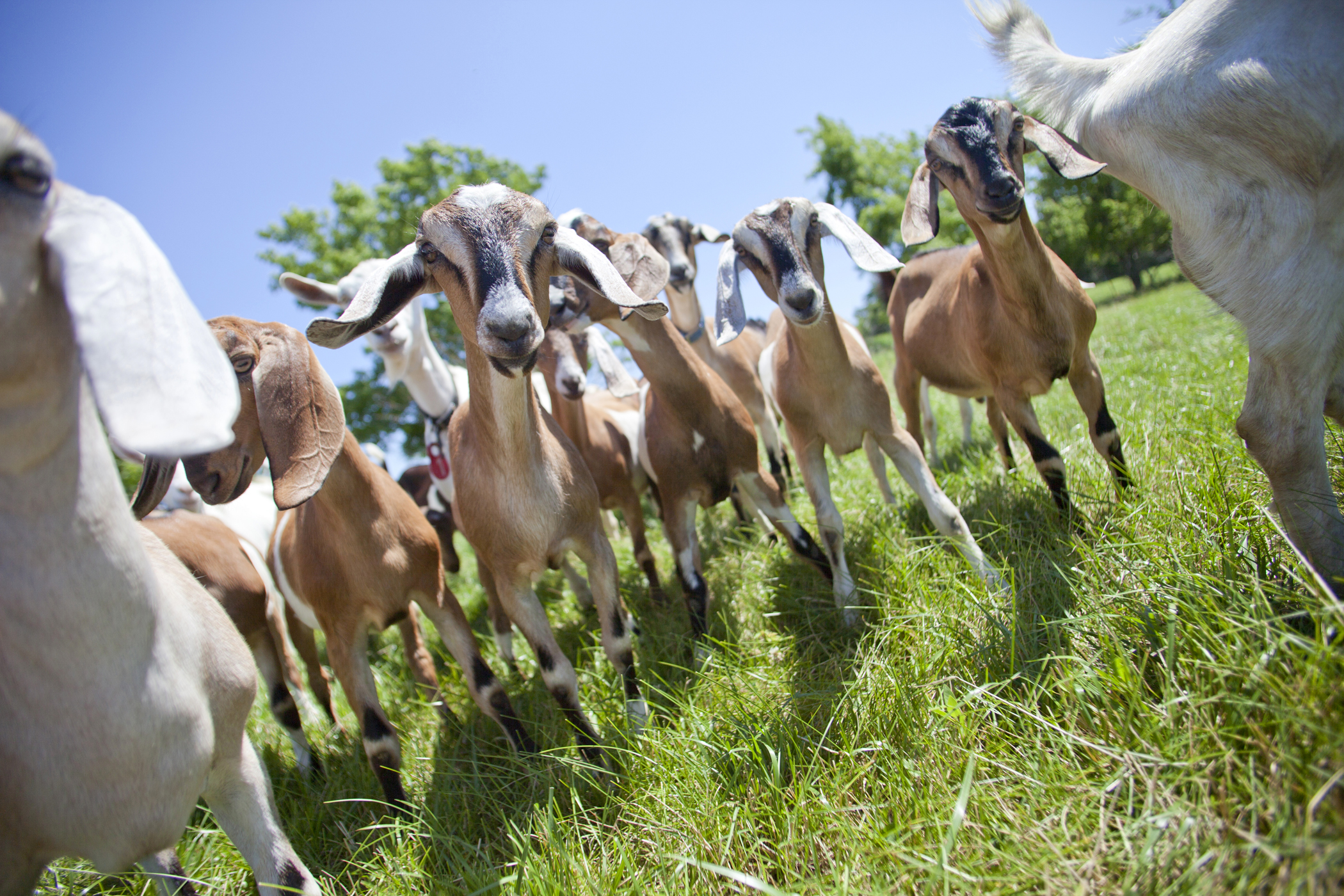 farm photography of goats at signing hills farm minnesota