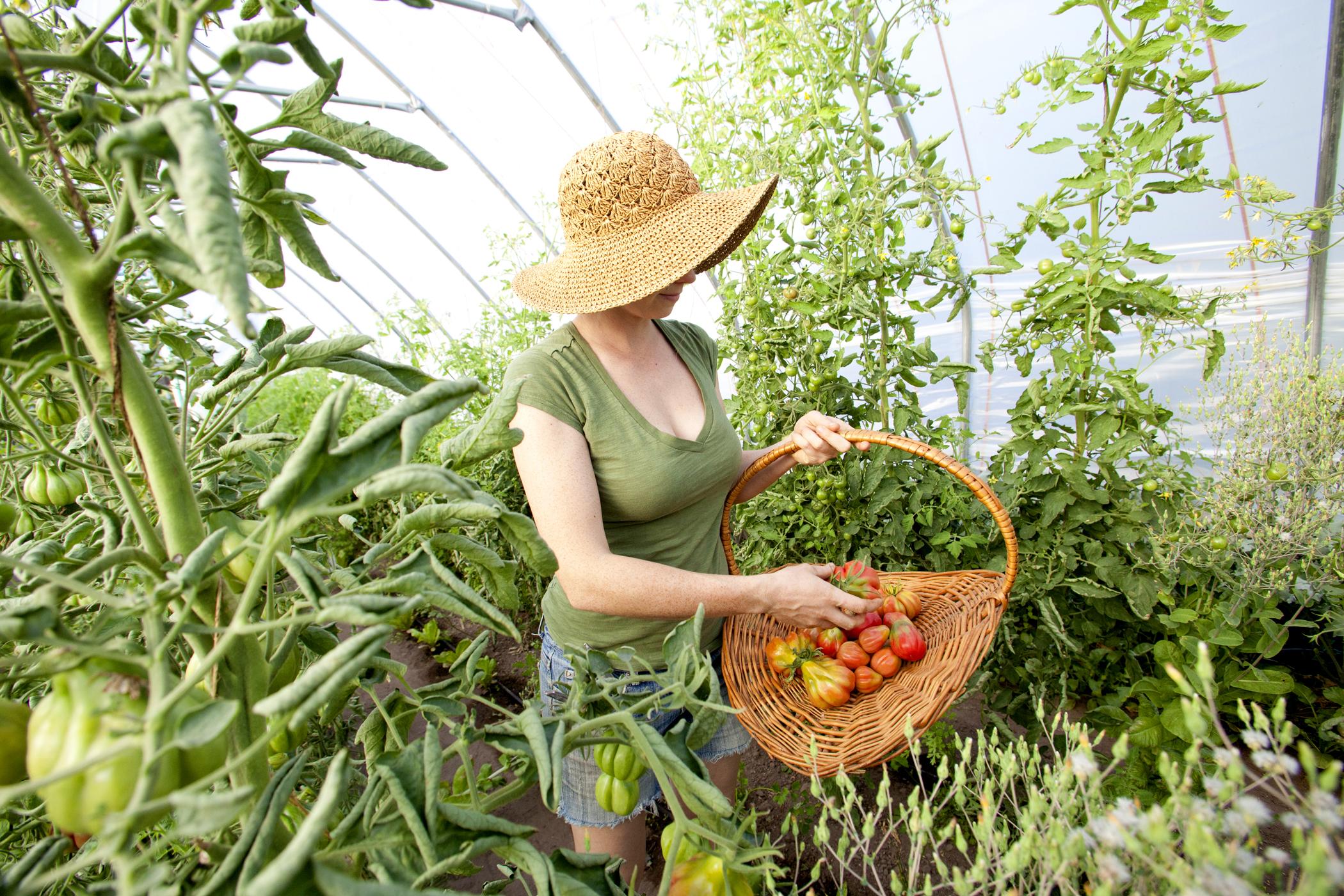 farm photography organic hoop house tomatoes