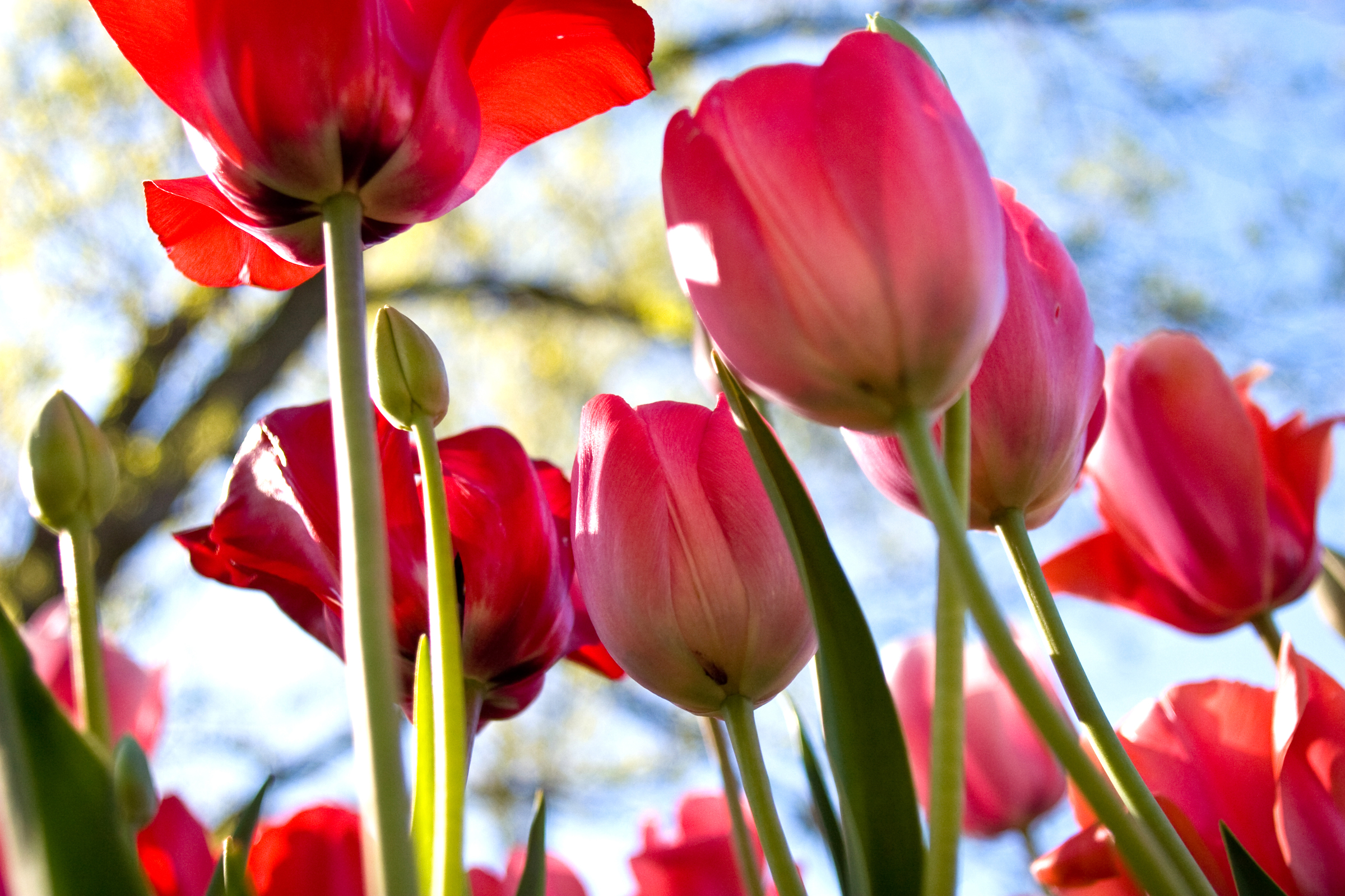 nature photography tulips