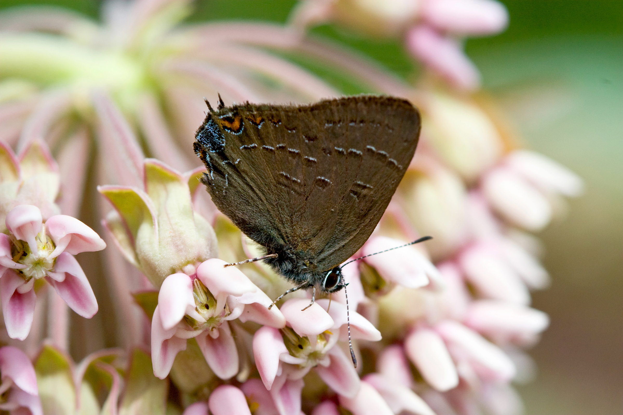 milkweed flower butterfly nature photography