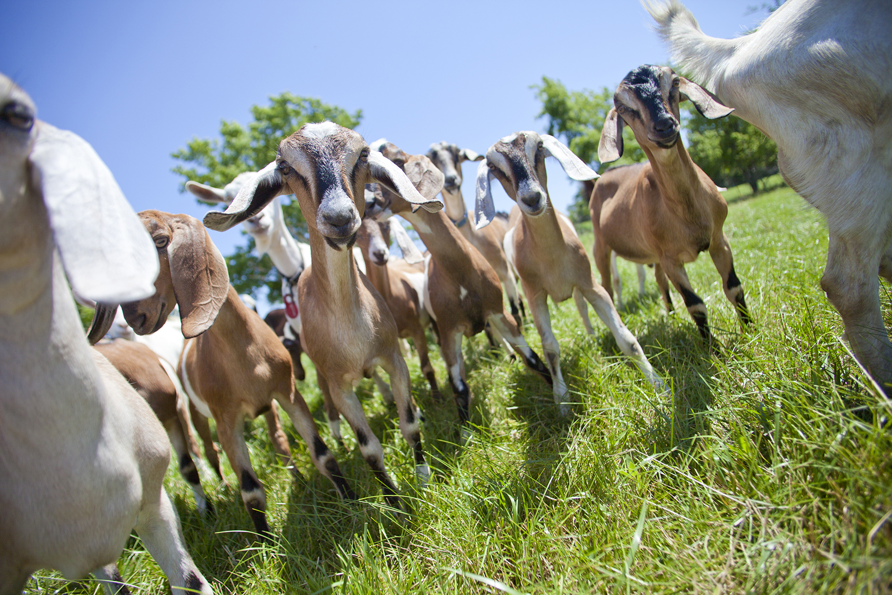 Editorial photography of goats at singing hills goat dairy minnesota