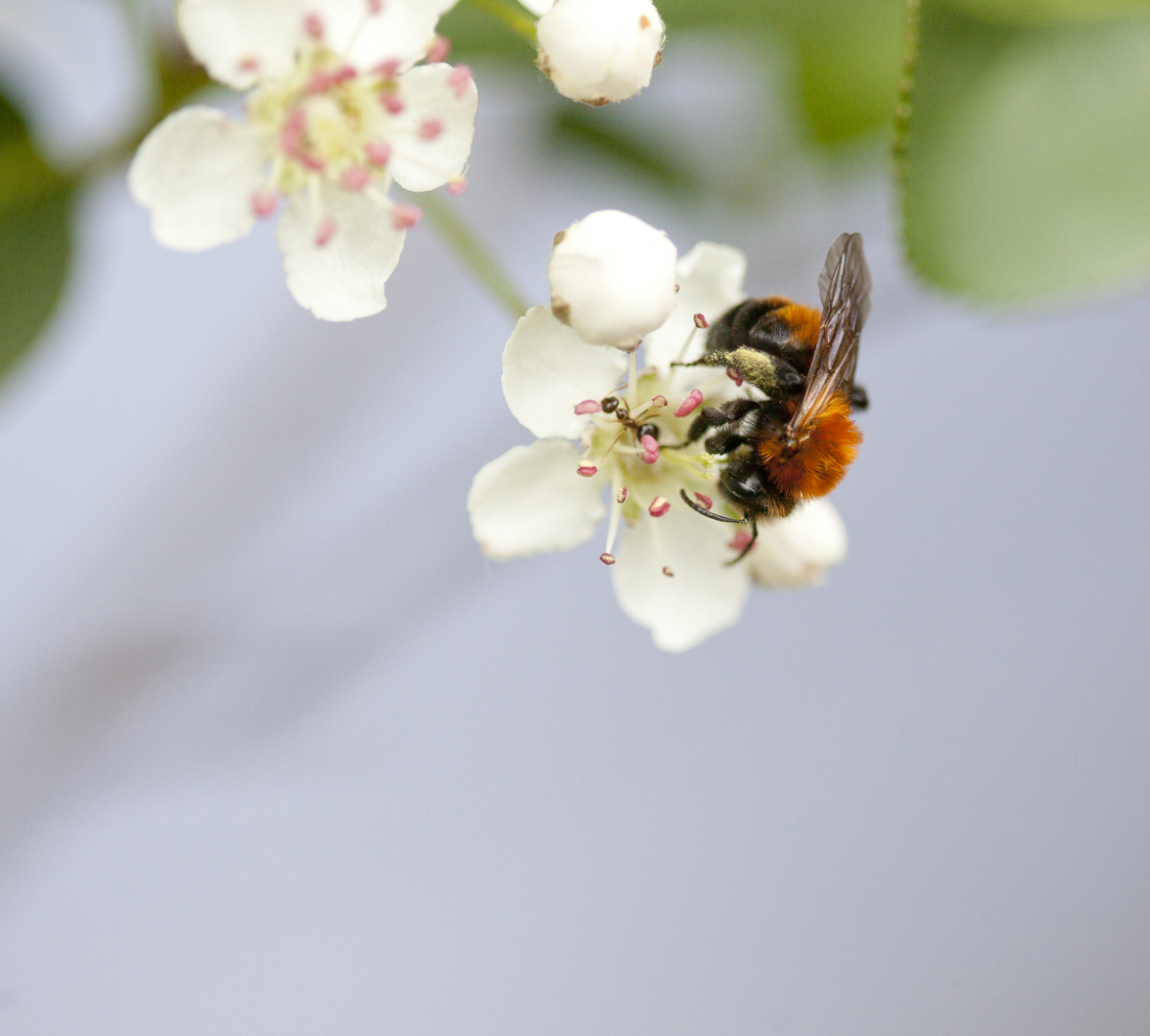 Tawny mining bee, plum blossom by Laurie Schneider
