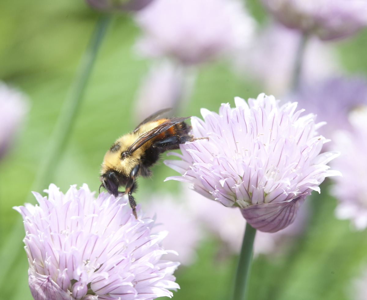 Red belted bumble bee, chives by Laurie Schneider