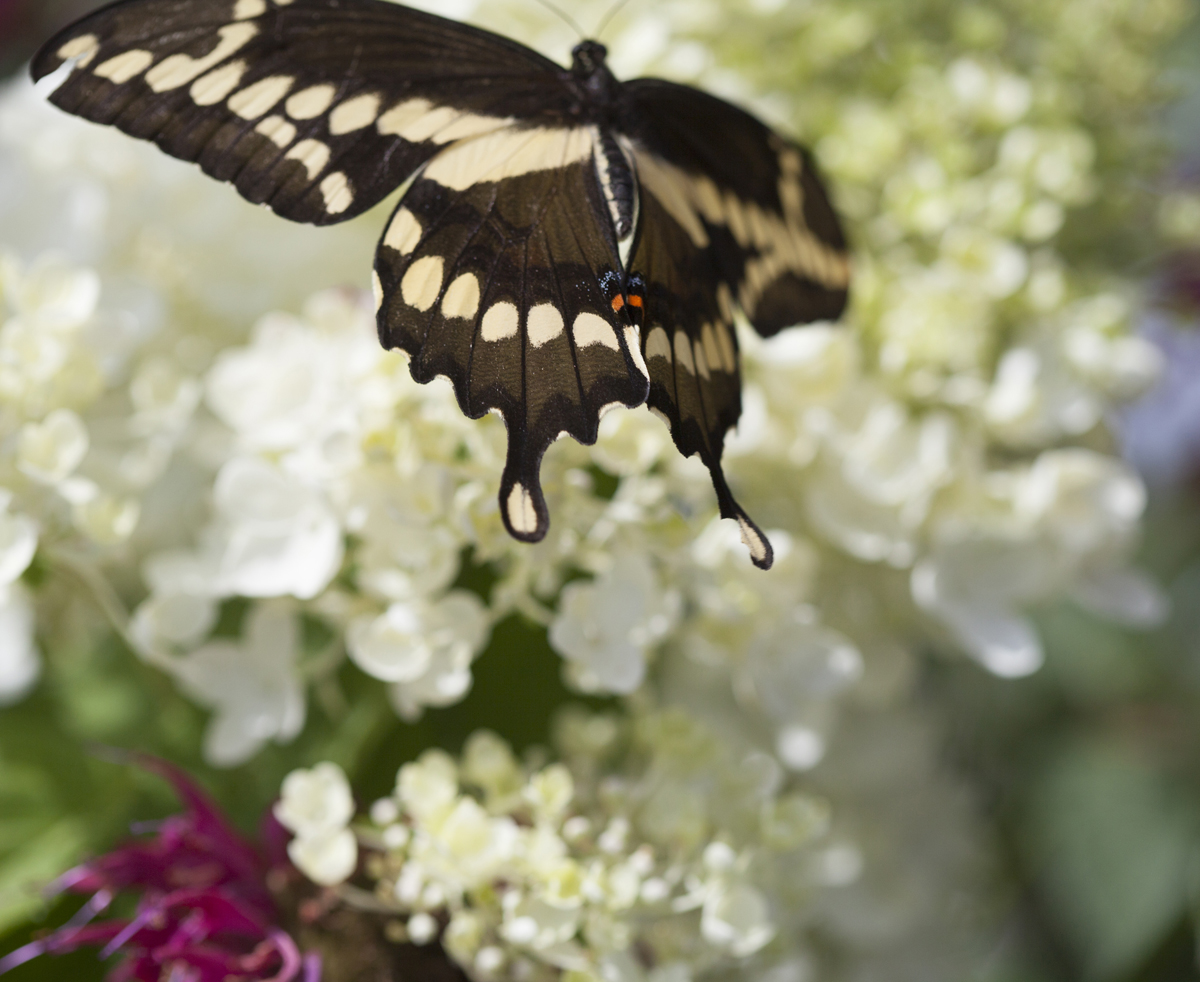 Swallowtail butterfly, bee balm by Laurie Schneider