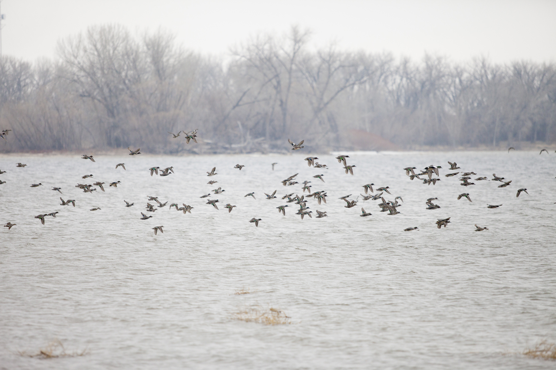 flock: green winged teal, american wigeon