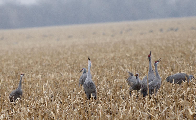 sandhill crane foraging cornfield