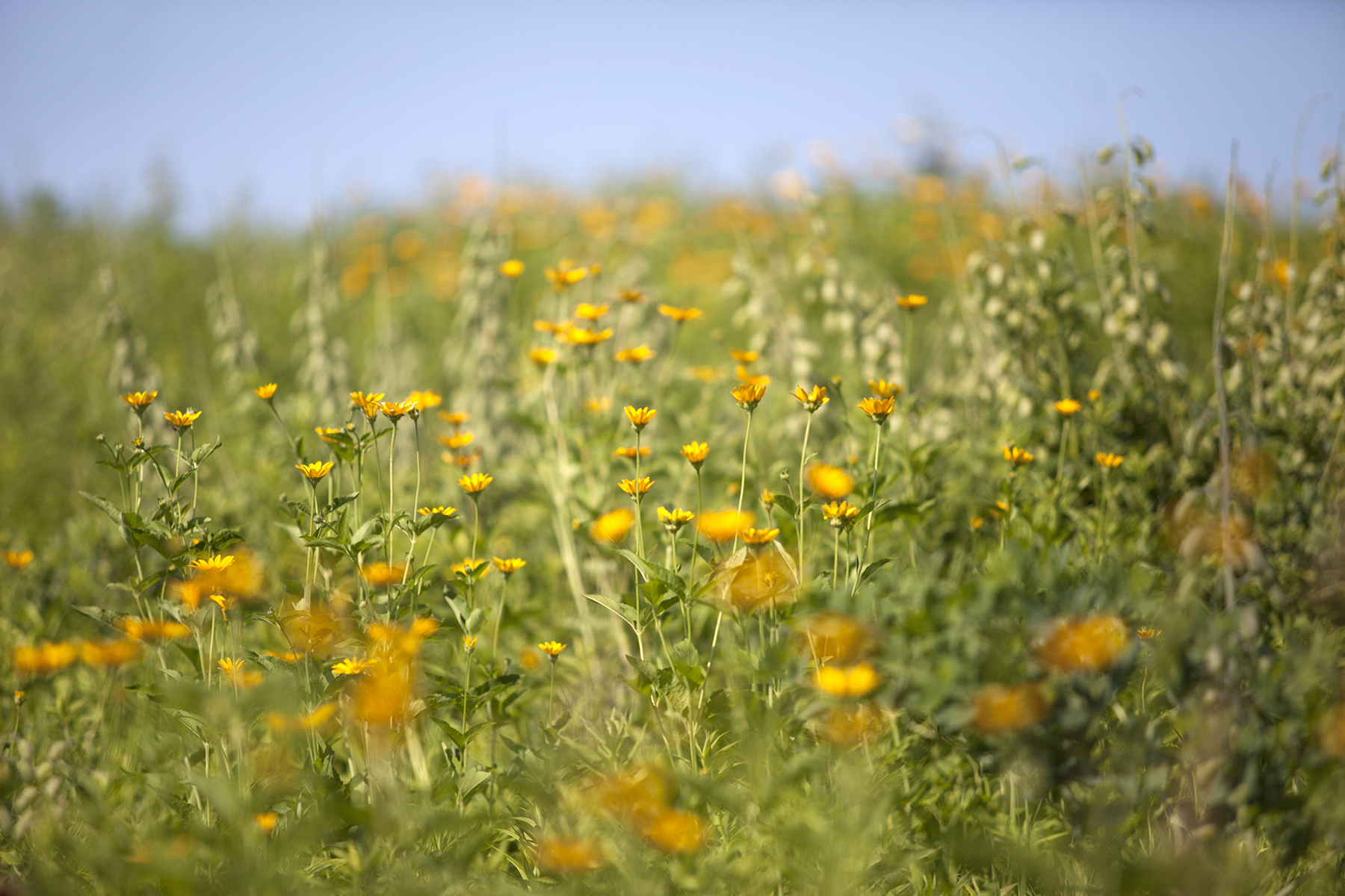 Coreopsis in the prairie