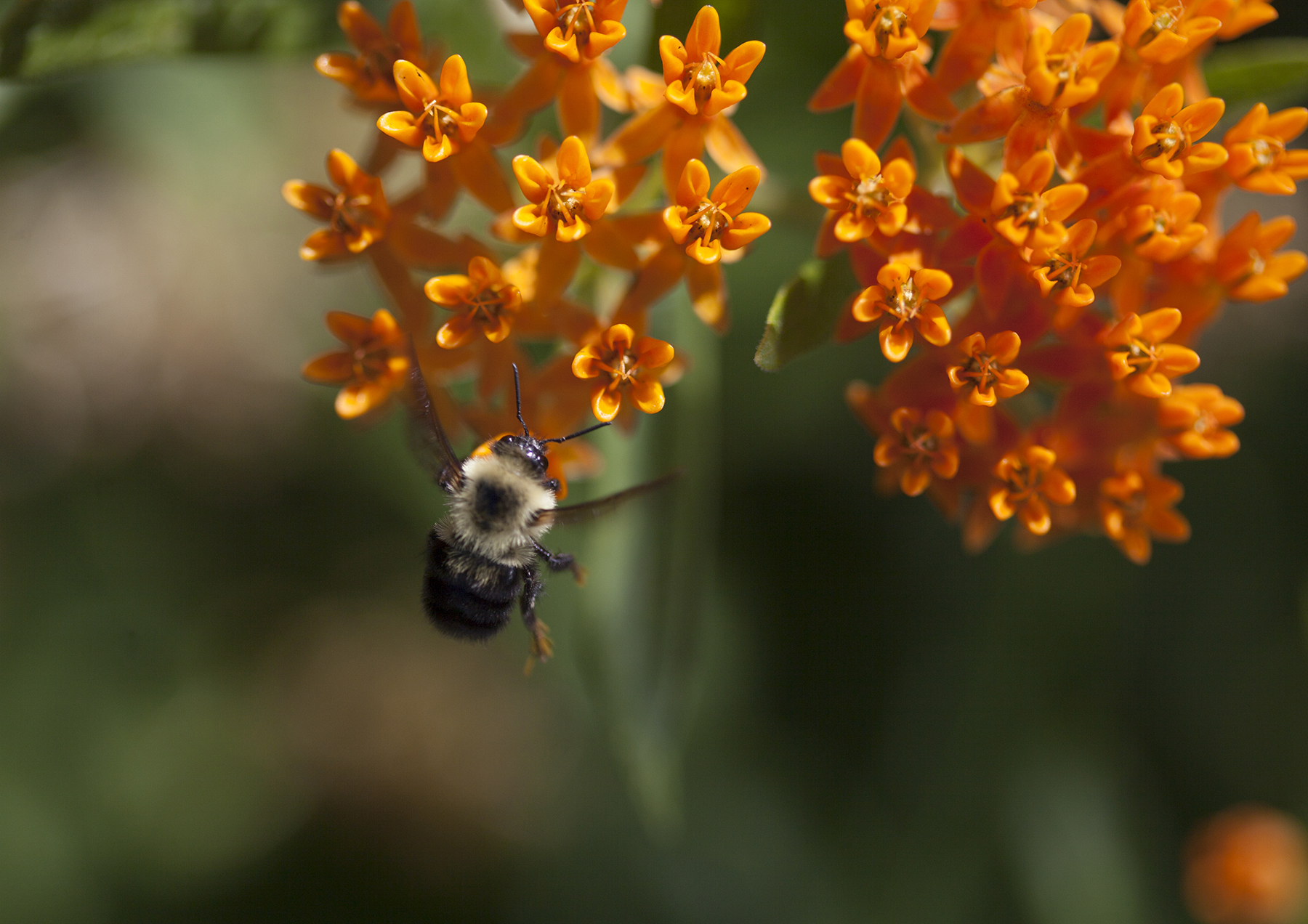 Bumble bee on butterfly weed, the main pollinator of blue berries