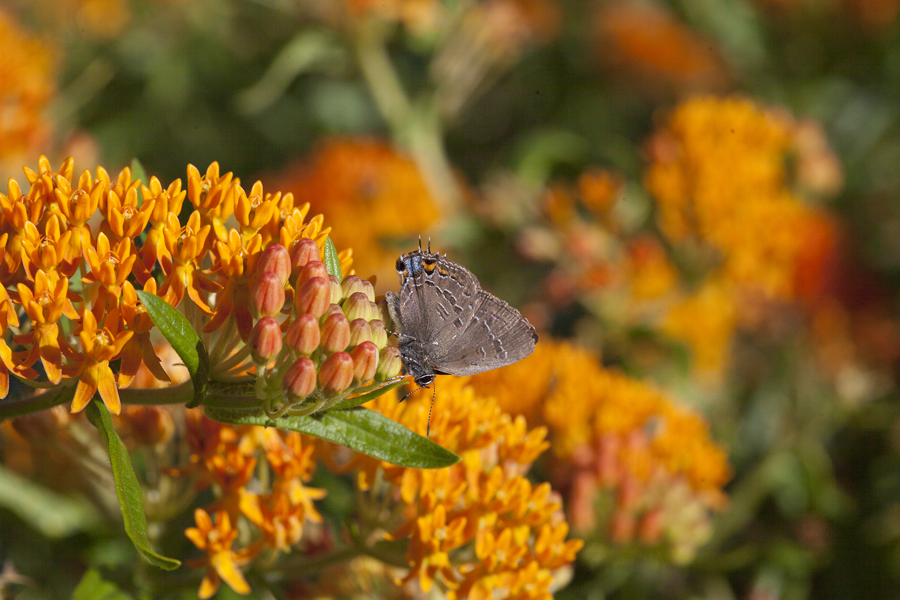 Hairstreak butterfly on butterfly weed