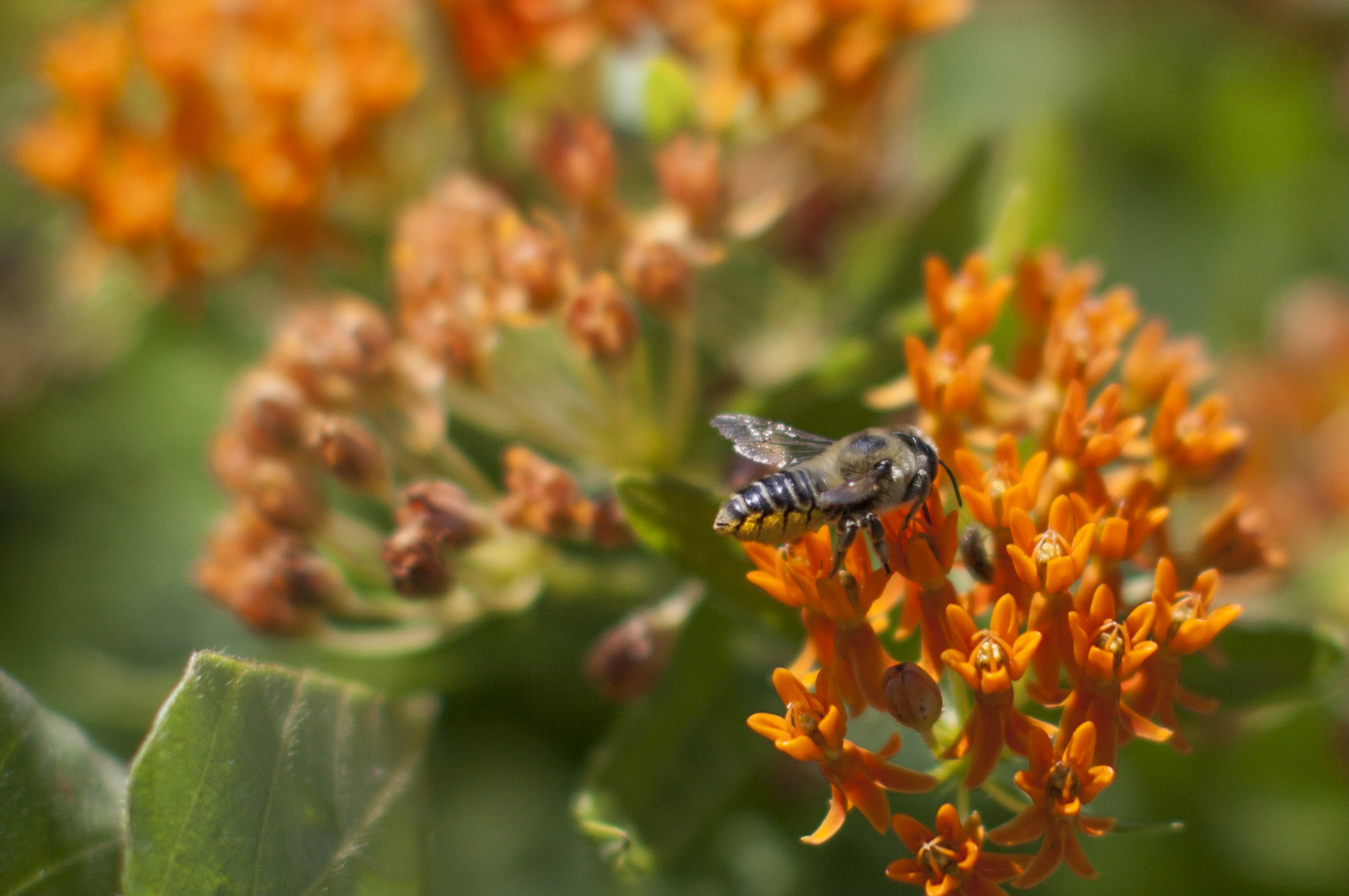 Leafcutter bee on Butterfly weed