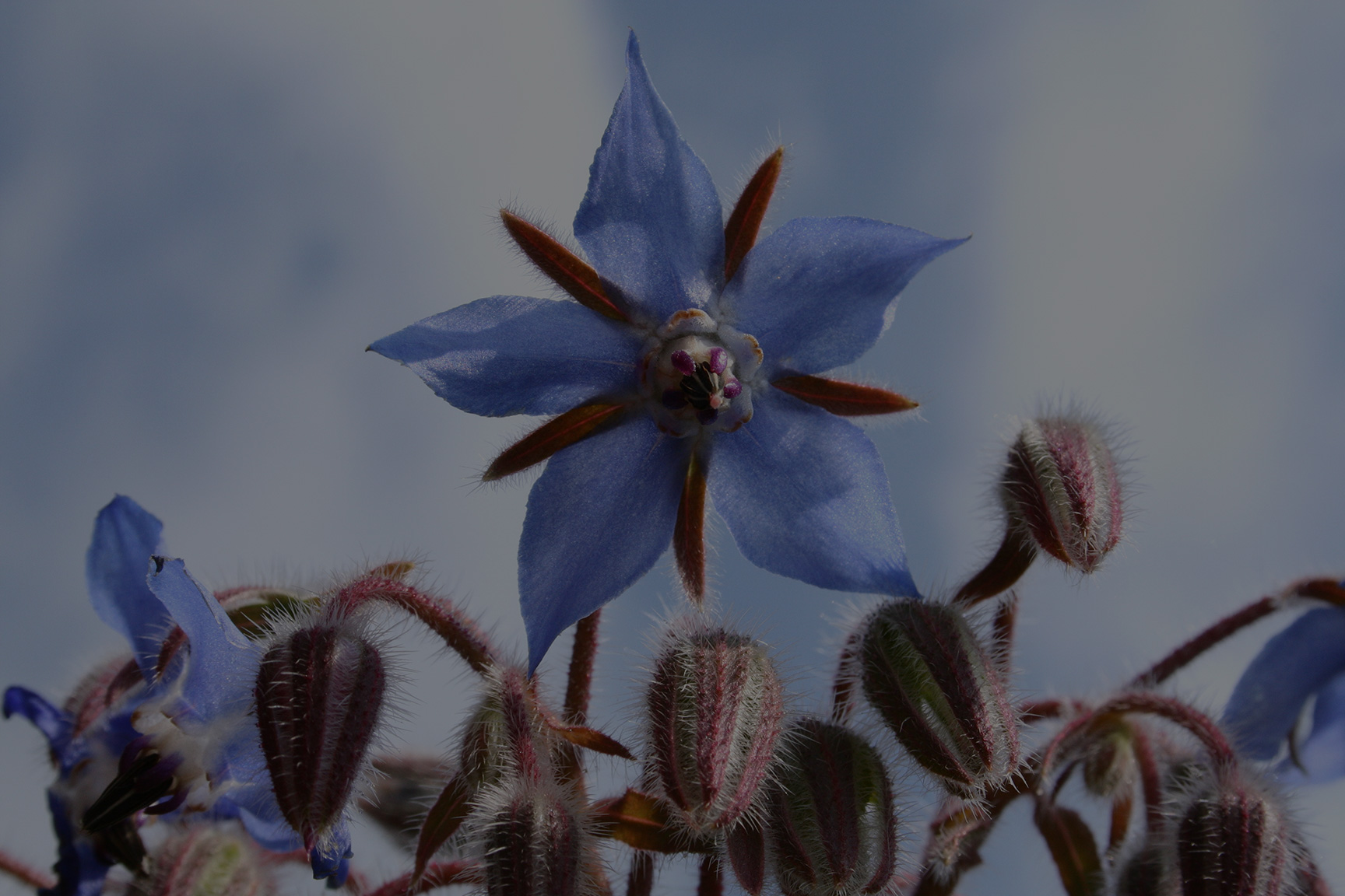 It's great for your garden. - Borage is a wonderful plant to have around the garden.In the garden, the uses of borage include repelling pests such as hornworms, attracting pollinators like bees, and aiding any plants it is interplanted with by increasing resistance to pests and disease. It is also helpful to, and compatible with, most plants — notably tomatoes, strawberries and squash.*