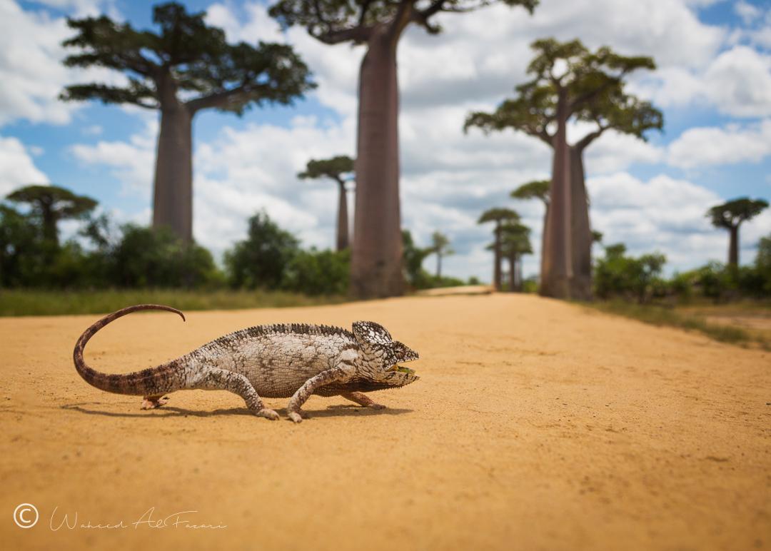 Malagasy Chameleon
