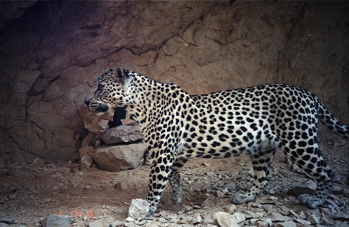 Arabian Leopard - Panthera pardus nimr