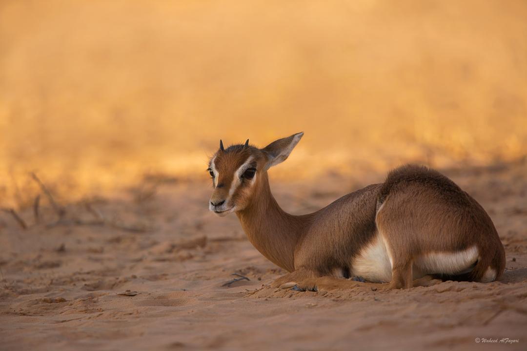 Arabian Gazelle - Gazella arabica