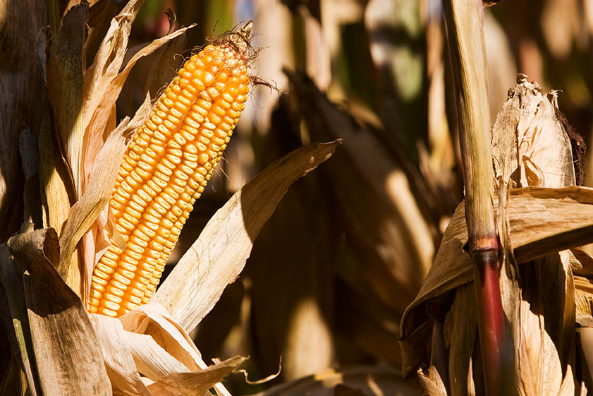 corn ready for harvest-w.jpg