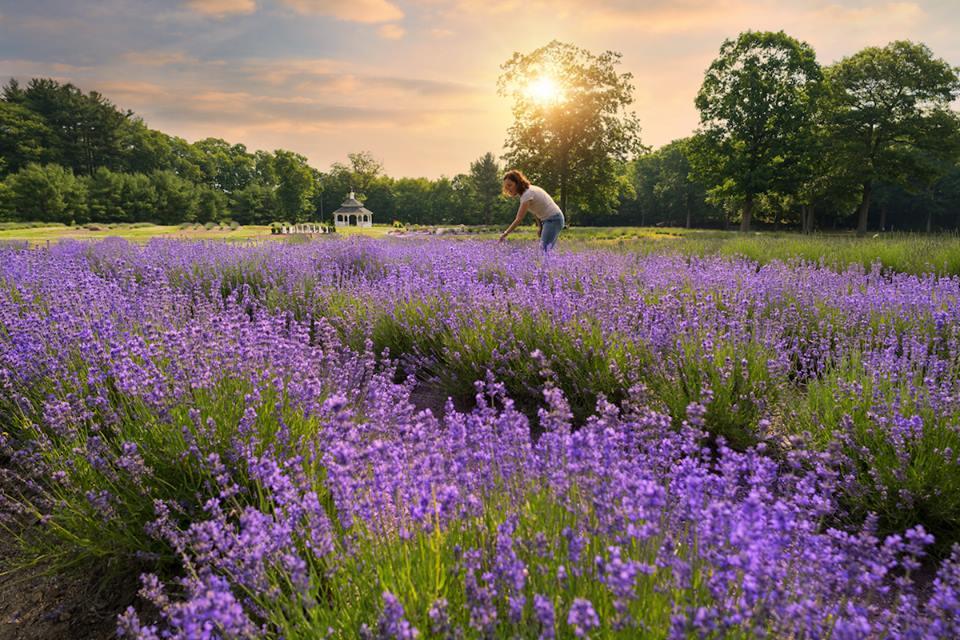 facebook.com/lavenderpondfarm