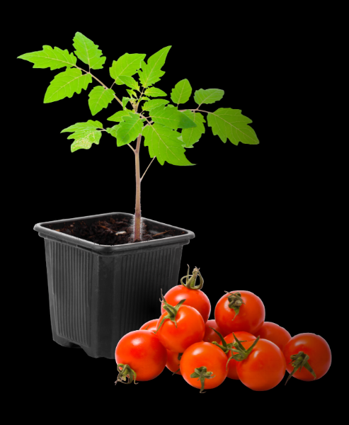plant-tomatoes.png