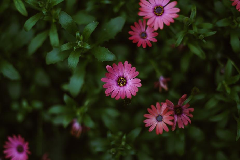 dark-pink-flower-in-bloom_925x.jpg