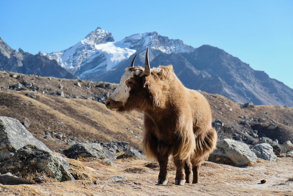 Yak resting in the afternoon sun