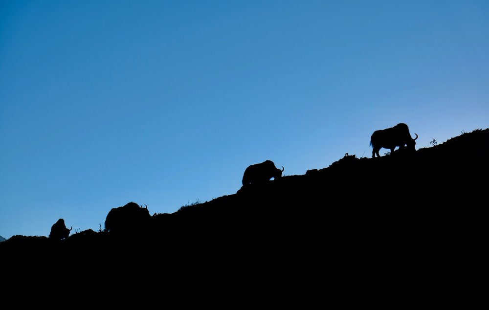 Yaks grazing after sunset, 4:22pm
