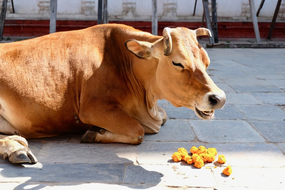 Cow enjoying an offering of marigolds