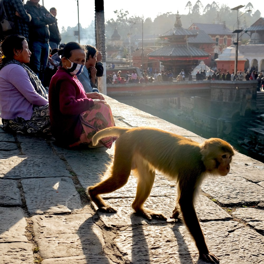 Monkey walking past a group of people viewing cremations at the Kathmandu cremation ghats