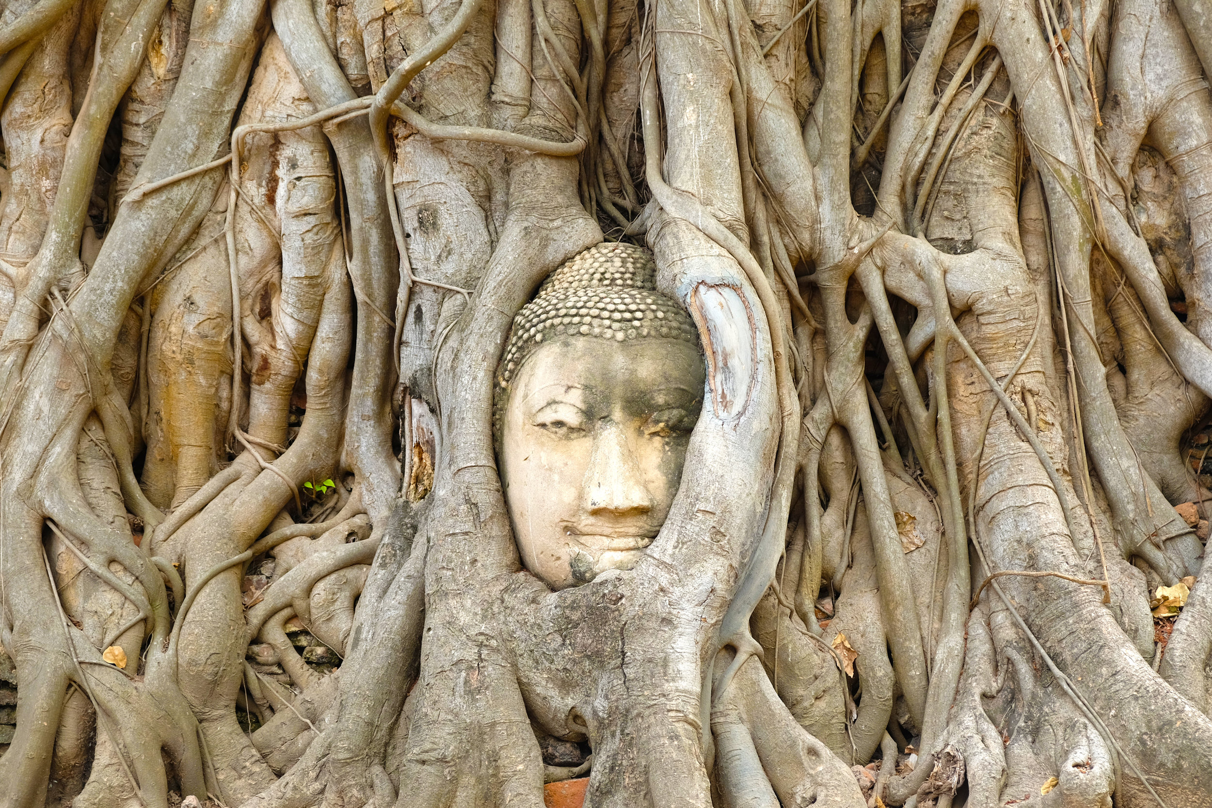 Secret Buddha head at Ayutthaya (Hint: Look for the crowds to find the secret Buddha head)