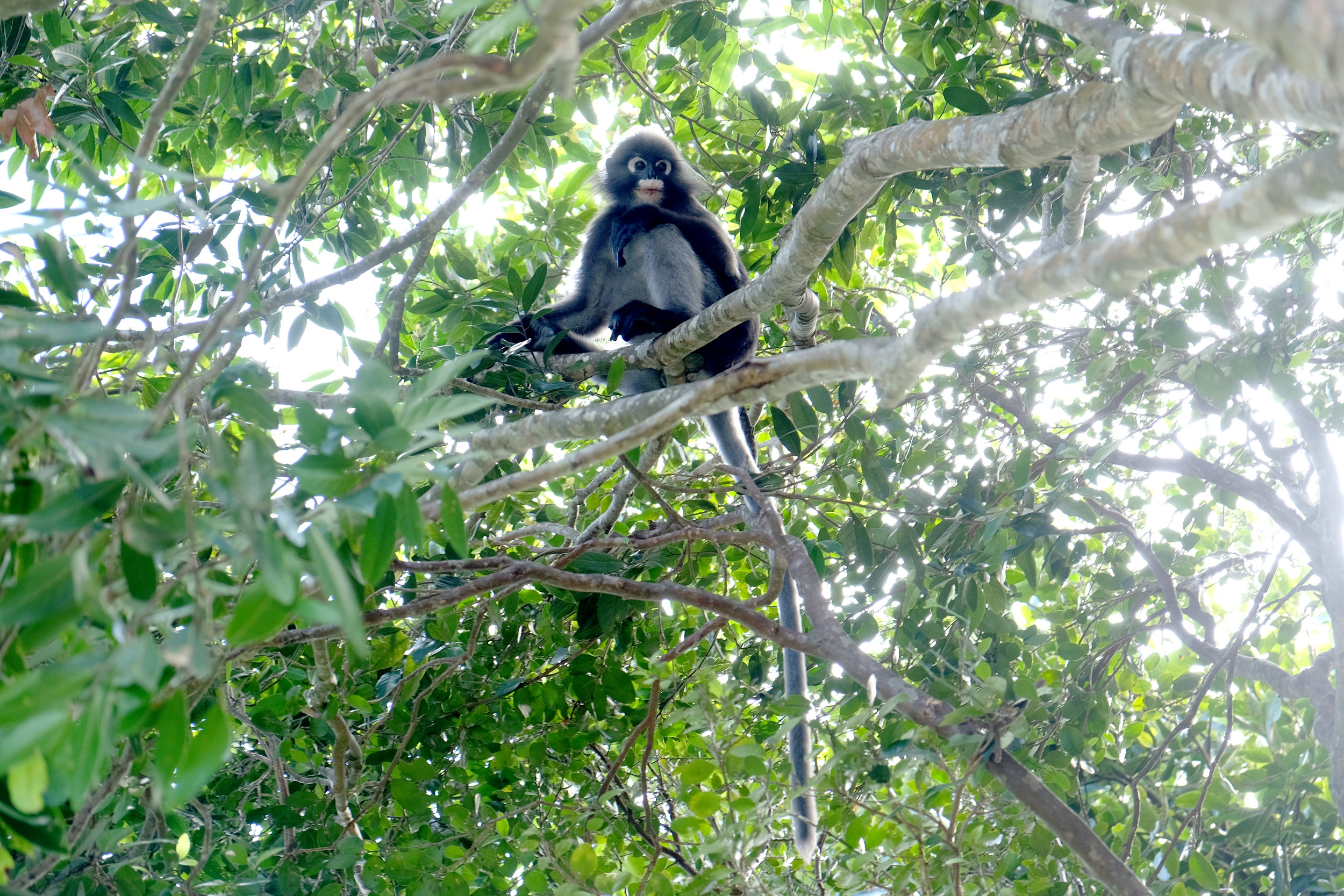 Dusky leaf monkey hoping for a handout