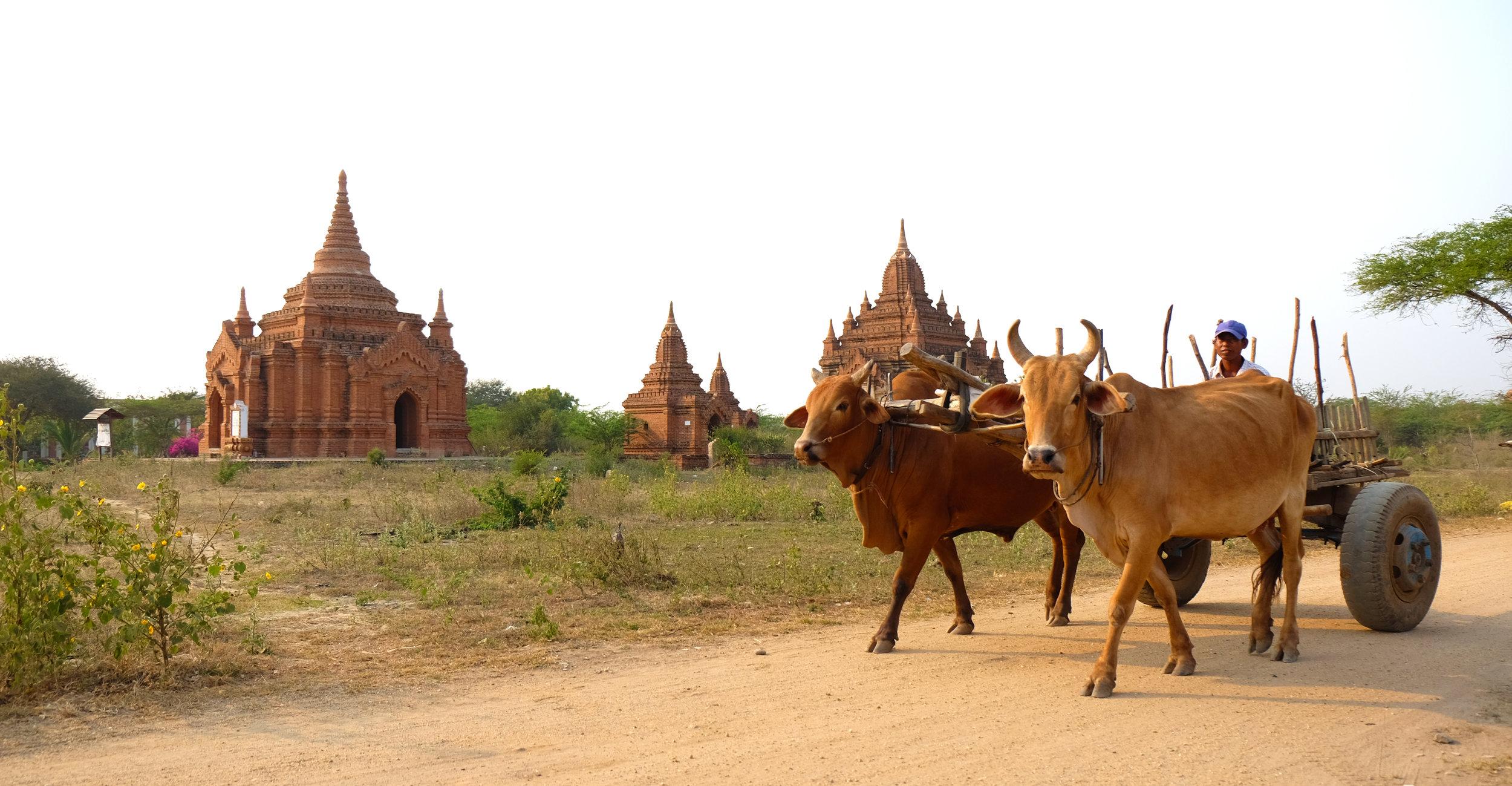 Farmer passes by ancient ruins, Bagan