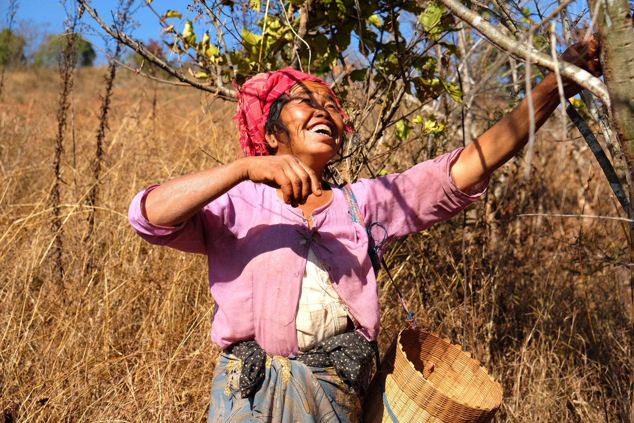 Tantu tribeswoman collecting gooseberries to sell